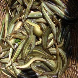 তাঁরা বাইম মাছ (Lesser Spiny Eel)