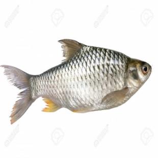জাভা মাছ - Java barb Fish