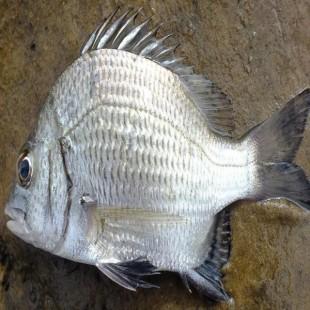 ধাতিনা মাছ