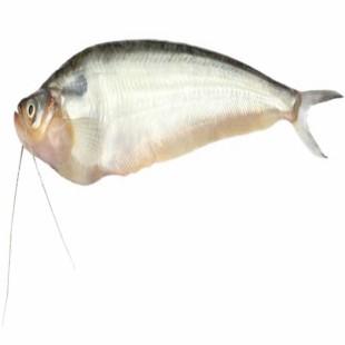 Pabda Fish