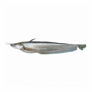 Boal Fish